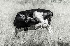 Cow itching black and white. Picture from 2017 taken in Sandefjord, Norway Royalty Free Stock Photography