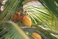 Coconut tree with orange coconuts royalty free stock photo