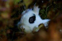 Shy bunny hiding in a bush and directly looking into the camera royalty free stock image