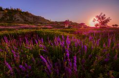 Lavender planted at foot of Tianshan mountain China. The picture is taken at the time of sunset. it is located in Xinjiang China, at the foot of Tianshan stock photos