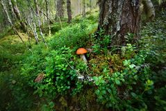 Magical mushroom nesteld in lush forest in Scotland royalty free stock photos