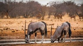 Couple of oryx antelopes in Etosha national park royalty free stock photo