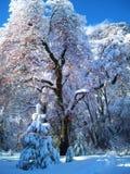 YOSEMITE WINTER SNOW COVERED TREE royalty free stock photo