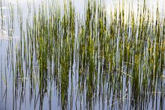 Tall grass in the pond Royalty Free Stock Image
