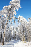 Picture of tall snowy trees in the winter nature Stock Photo