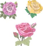 Picture of three vector roses royalty free stock images