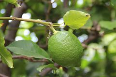 A green lemon with a yellow leaf on a forest. The picture took at my own garden, during the spring Royalty Free Stock Photos