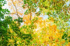 Tree canopy with colorful autumn leaves. Picture of a tree canopy with colorful autumn leaves Stock Images