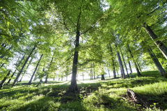 Picture of a trees in forest Royalty Free Stock Images