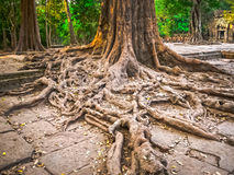 The picture of trees and temple, Angkor, Cambodia. The picture of trees and old temple, Angkor, Cambodia Royalty Free Stock Photo