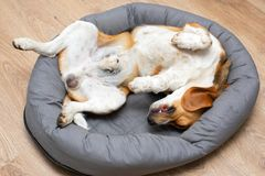 Beagle puppy sleeping at home stock photography