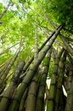 Picture of tropical bamboo forest Stock Images