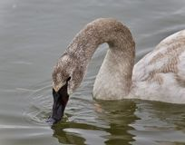 Photo of a trumpeter swan drinking water from lake. Picture with a trumpeter swan drinking water Royalty Free Stock Photography