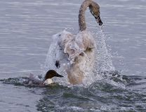 picture of a trumpeter swan under attack of a  crazy duck Stock Photos
