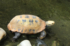 Picture of turtle in Chiang Mai Zoo Stock Photos