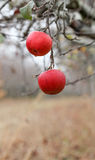 Picture of a Two apples forgotten in a harvest , Apple Orchard in november Stock Image