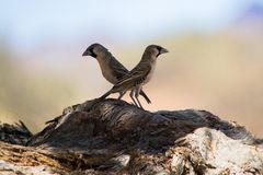 Twin birds. Picture of two birds, looking other directions, sitting on old wooden branch Royalty Free Stock Images