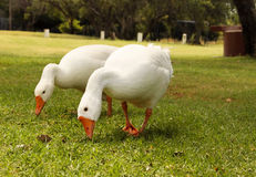 Geese Eating Grass Royalty Free Stock Image