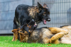 Two Old German Shepherd dogs fighting in the garden Stock Photos