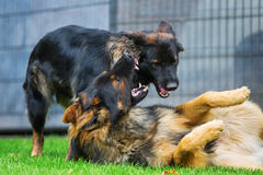 Two Old German Shepherd dogs fighting in the garden Royalty Free Stock Photo