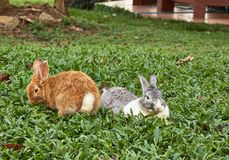 Picture of Two Rabbits stay on the green grass field. Royalty Free Stock Photos