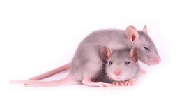 Picture of two tired baby rats on white background Royalty Free Stock Photo