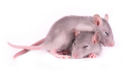 Picture of two tired rats sleeping on white Royalty Free Stock Photography