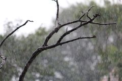Surprise Showers. Picture of unexpected rain in summer season. The rain showers the dry tree Royalty Free Stock Photo
