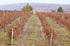 Picture of vines in a vineyard. Stock Photos