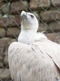 Picture of vulture in zoo Stock Photography