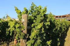 Travel Europe- Vineyards and orchards royalty free stock photography