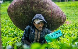Tea farmers in Ciwidey, Jawa Barat, Indoensia. This picture was taken at Ciwidey, Jawa Barat. Indonesia. The man in the picture is a tea farmers bring a tea in Stock Photography