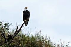 Proud bird - Balded Eagle the heraldic bird of USA stock photography