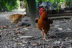 Chickens in a Colombian farm. This picture was taken in a Colombian farm in 2017 ,this picture shows a pair of chickens in a farm in Colombia, you can see the Stock Photography