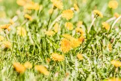 Yellow dandelion flowers Taraxacum officinale. Dandelions field background on spring sunny day. Blooming dandelion. Royalty Free Stock Image
