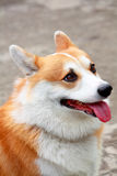 Welsh corgi smile Royalty Free Stock Photos