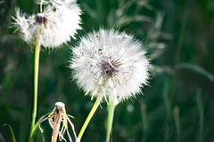 Picture of the white blowballs in a green summer meadow in morning sun light Royalty Free Stock Images