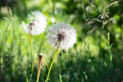 Picture of the white blowballs in a green summer meadow in morning sun light. Picture of white blowballs in a green summer meadow Stock Photo