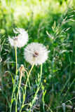 Picture of the white blowballs in a green summer meadow in morning sun light Stock Photo