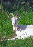 Picture of white goat Stock Images