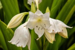 White lillies. A picture of white lillies royalty free stock photo