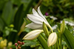 White lillies. A picture of white lillies stock images