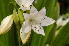 White lillies. A picture of white lillies stock photo