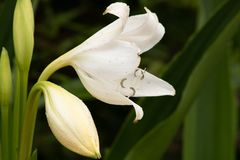 White lillies. A picture of white lillies royalty free stock image