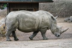 Picture of white Rhino in the wild.  royalty free stock photos