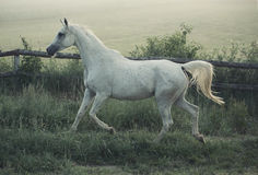 Picture of white steed with rular landscape in background Stock Photo
