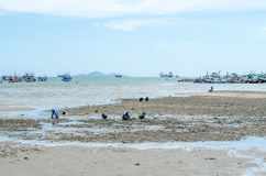 Picture wide people find for Oysters on the rock at the sea Stock Photography