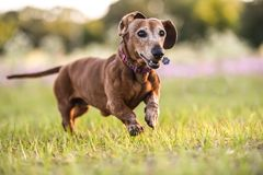 Picture of a brown Wiener dog running. Picture of a Wiener dog running in the park on a warm sunny day stock photos