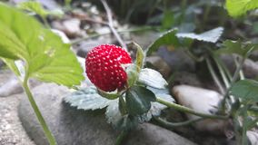 Wild strawberry. Picture of wild strawberry stock photo