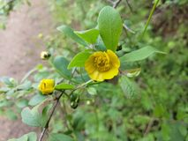 Wild yellow flower. Picture of wild yellow flower stock photography